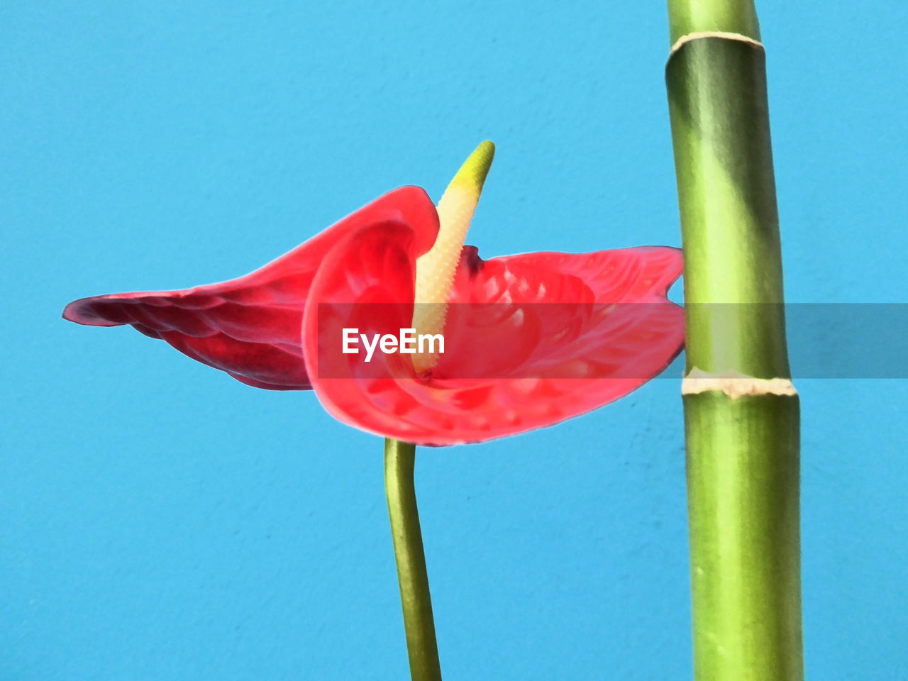red, close-up, flower, blue, no people, freshness, beauty in nature, nature, day, fragility, outdoors, flower head