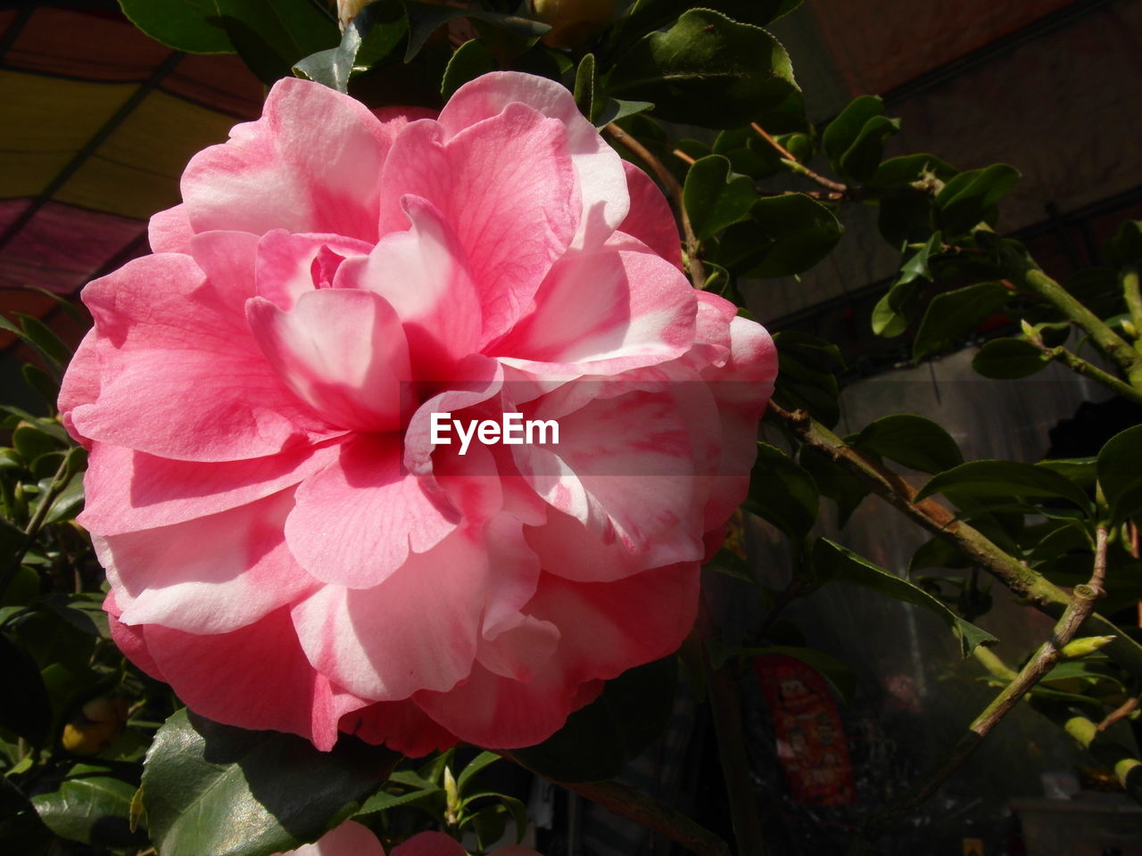 flower, petal, pink color, nature, beauty in nature, plant, no people, flower head, growth, outdoors, fragility, day, close-up, rose - flower, blooming, freshness