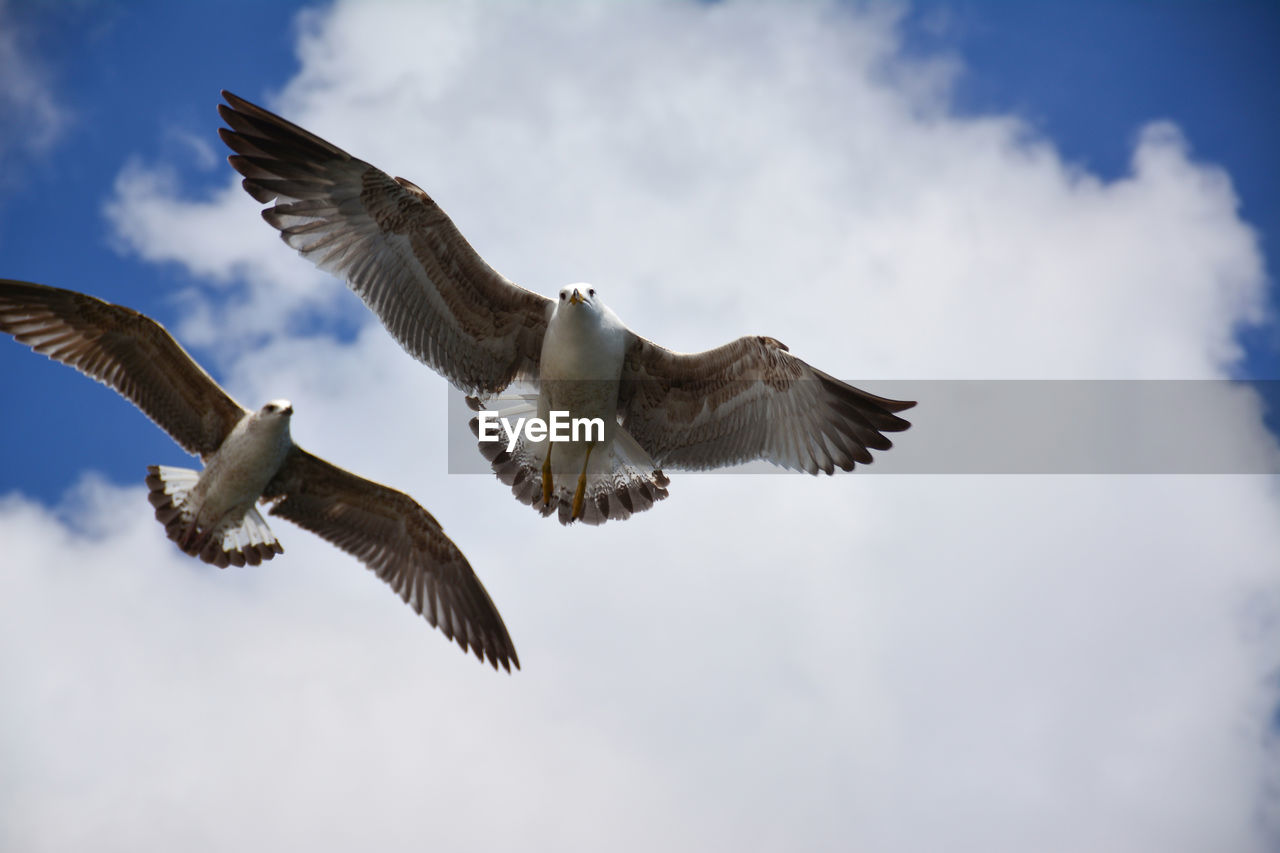 flying, animals in the wild, animal wildlife, bird, spread wings, animal themes, animal, vertebrate, sky, low angle view, cloud - sky, mid-air, group of animals, nature, motion, no people, day, bird of prey, outdoors, eagle