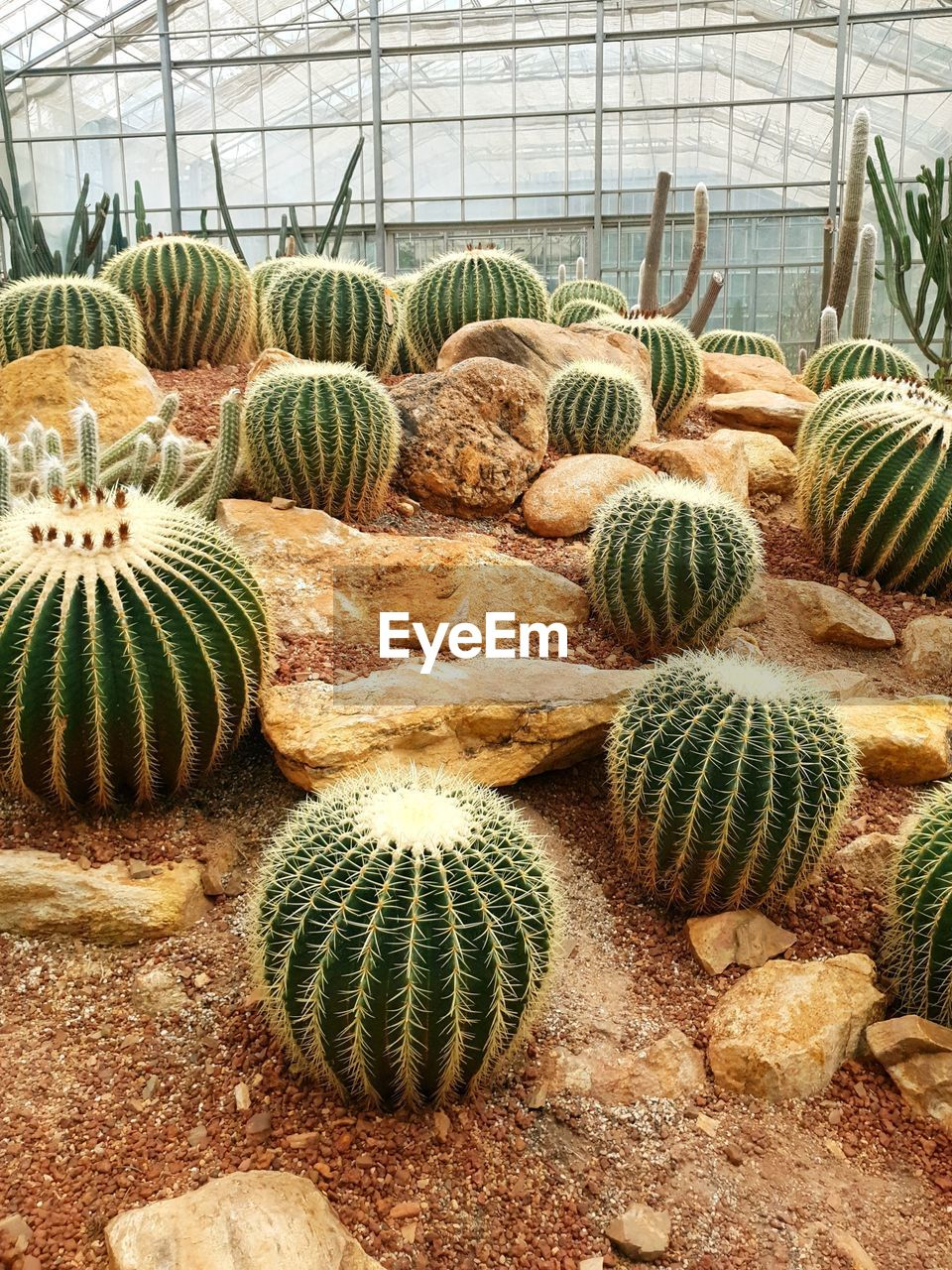 cactus, succulent plant, barrel cactus, plant, green color, greenhouse, growth, no people, nature, day, botany, indoors, beauty in nature, plant nursery, agriculture, sharp, thorn, close-up, abundance