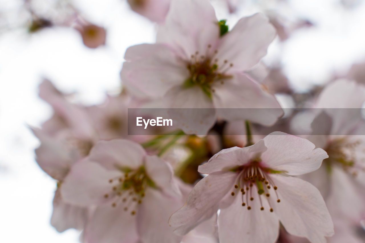 flower, petal, fragility, beauty in nature, flower head, blossom, white color, freshness, nature, springtime, close-up, selective focus, stamen, growth, no people, pollen, day, outdoors, tree, branch, blooming