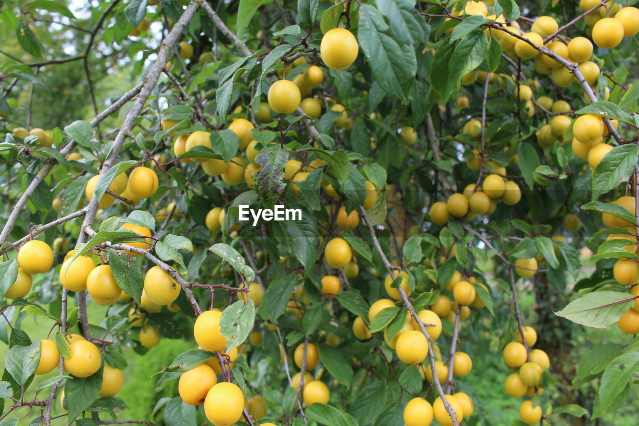food and drink, healthy eating, food, fruit, freshness, plant, growth, tree, wellbeing, green color, day, nature, no people, abundance, fruit tree, citrus fruit, agriculture, close-up, outdoors, yellow, ripe