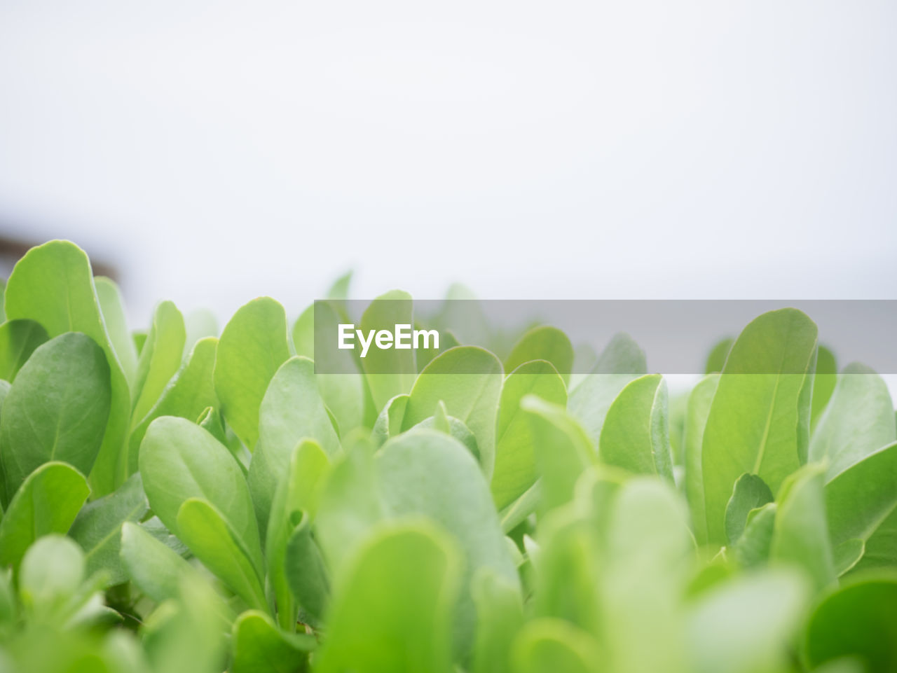 CLOSE-UP OF FRESH GREEN LEAVES OVER WHITE BACKGROUND