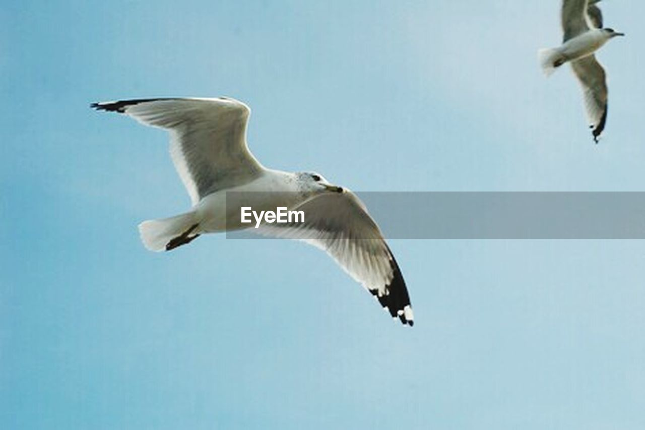 flying, spread wings, bird, mid-air, one animal, animal wildlife, animals in the wild, animal, animal themes, motion, seagull, nature, full length, no people, day, outdoors, sky, close-up