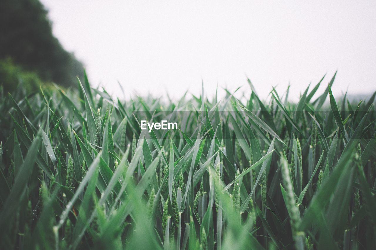 Crop Growing In Field