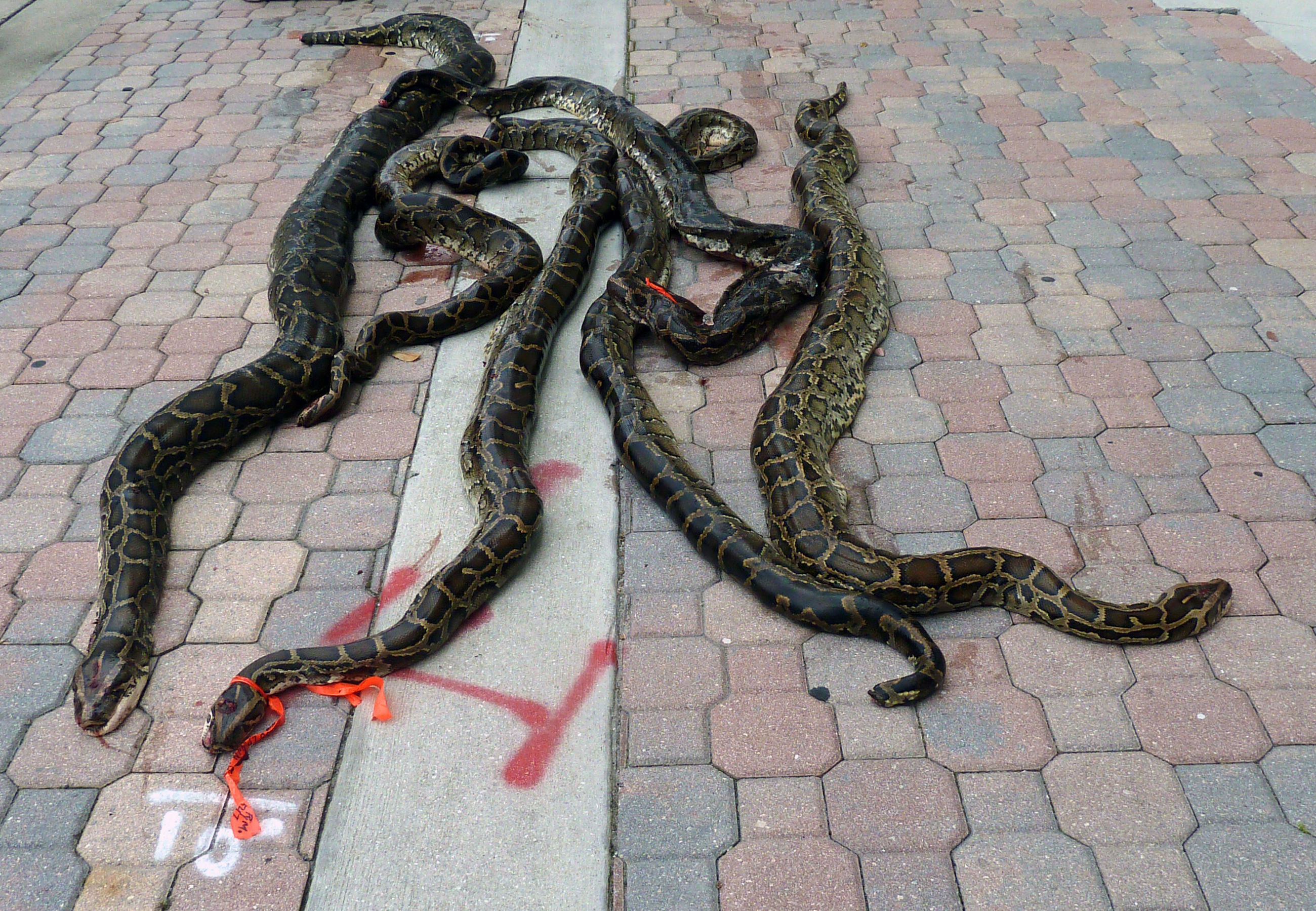 High angle view of dead pythons on footpath