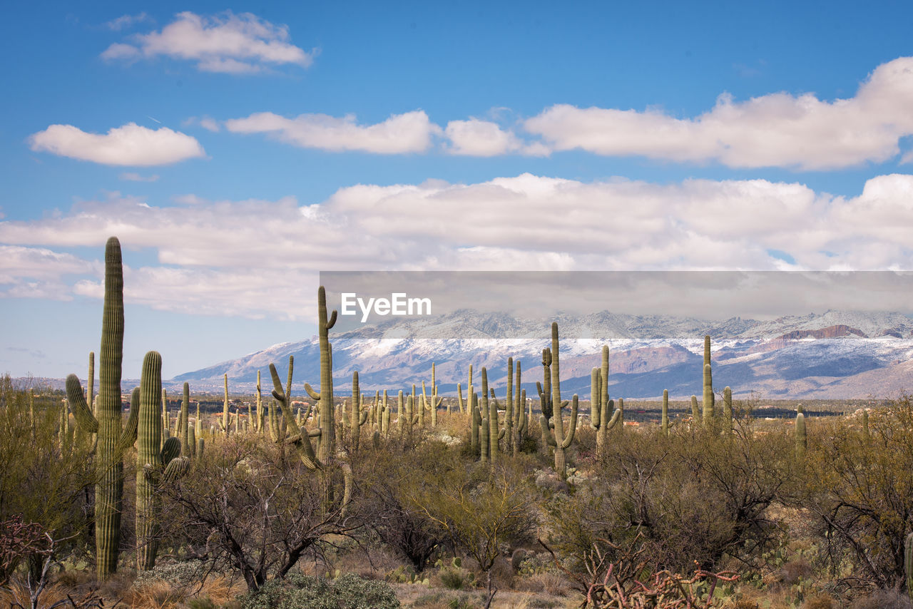 cloud - sky, sky, plant, growth, beauty in nature, tranquility, non-urban scene, tranquil scene, scenics - nature, environment, nature, cactus, no people, succulent plant, land, landscape, mountain, day, field, saguaro cactus, arid climate, ecosystem