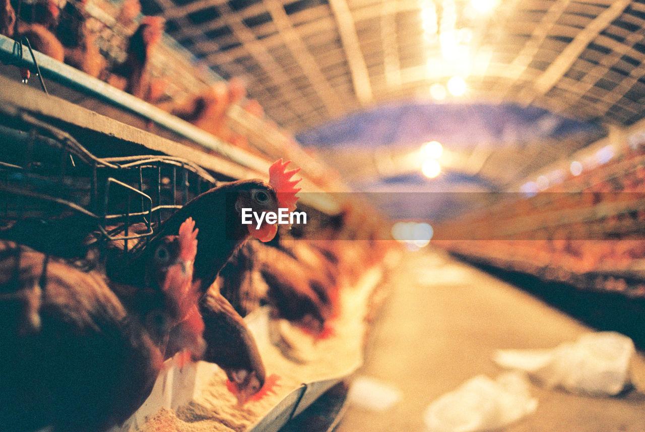 Close-Up Of Hen In Coop