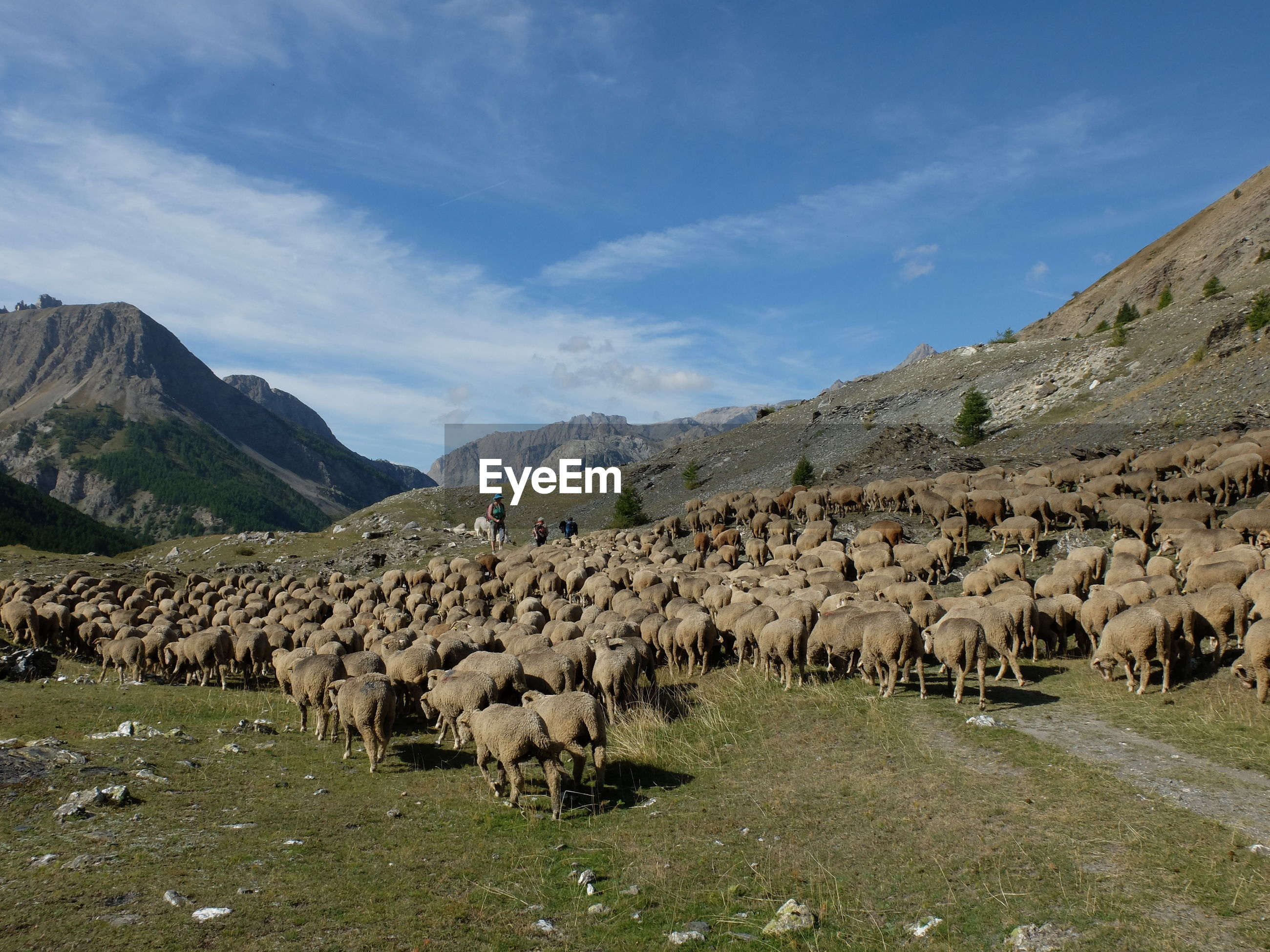 PANORAMIC VIEW OF A SHEEP ON LANDSCAPE