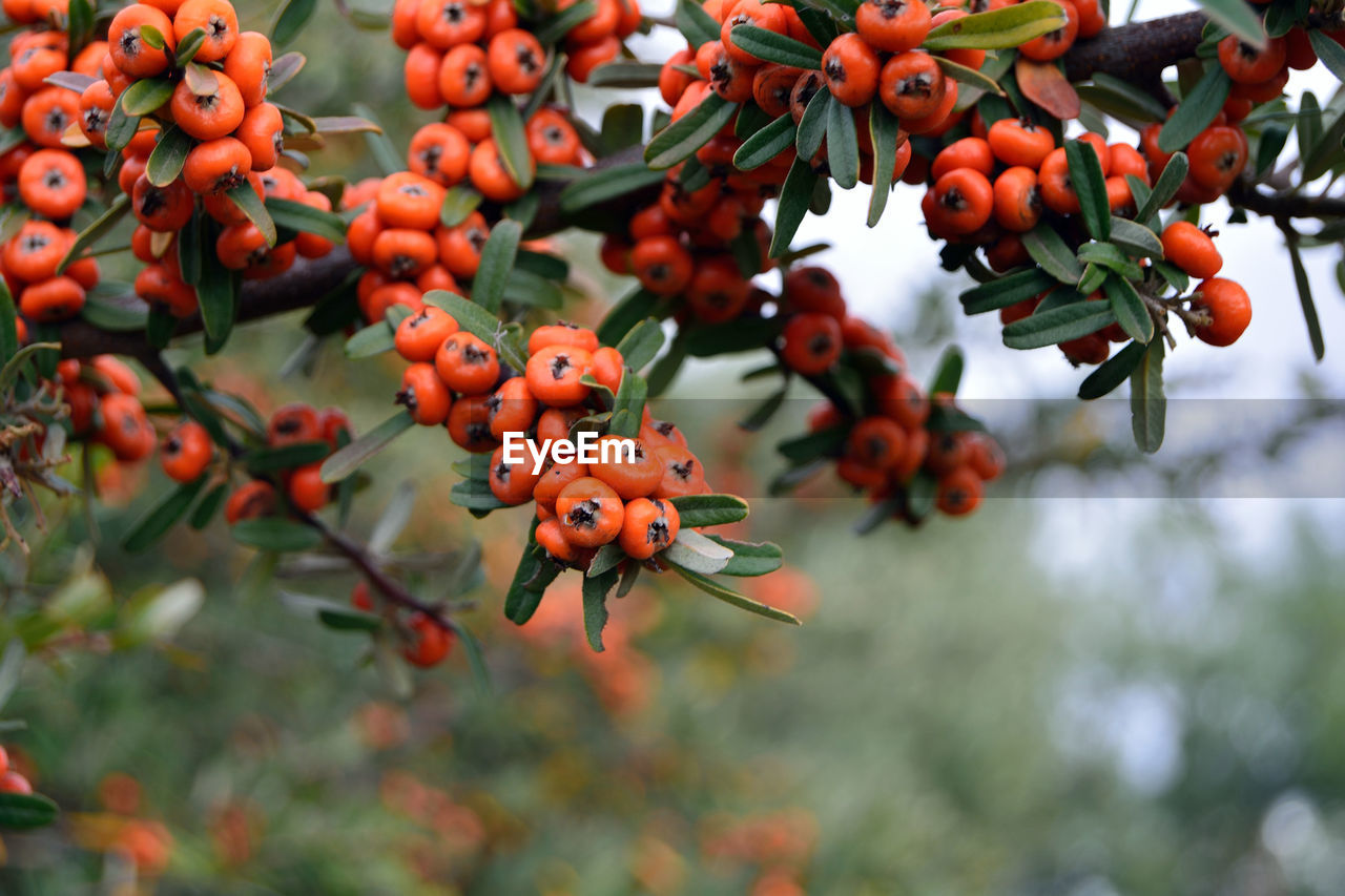 fruit, food and drink, tree, focus on foreground, rowanberry, day, growth, outdoors, food, growing, red, nature, low angle view, no people, freshness, beauty in nature, branch, healthy eating, close-up