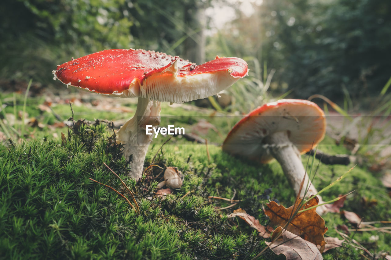 mushroom, fungus, toadstool, nature, growth, fly agaric, close-up, beauty in nature, fly agaric mushroom, outdoors, no people, day, fragility, red, grass, freshness
