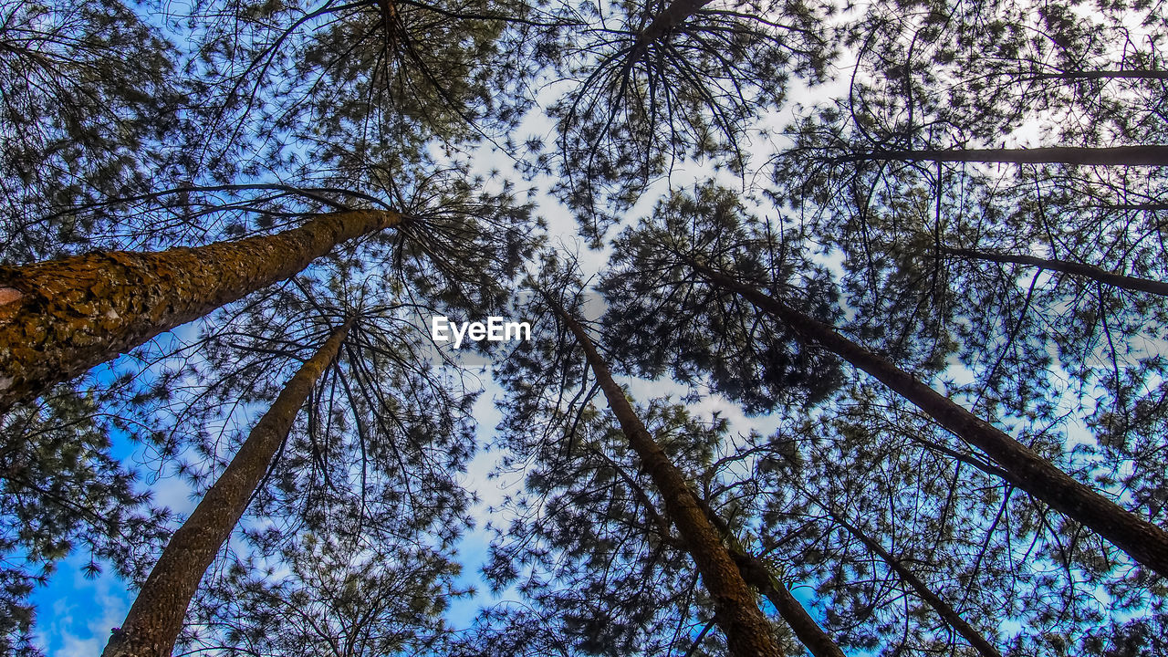 tree, low angle view, nature, tree trunk, growth, forest, beauty in nature, branch, sky, no people, day, outdoors, tranquility, pine tree, scenics, tree area, clear sky