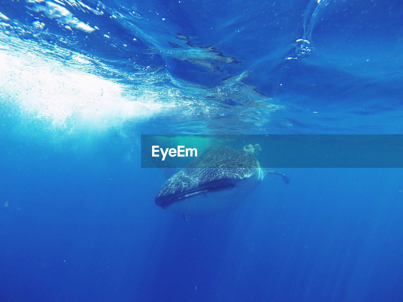 View Of Whale Shark Underwater