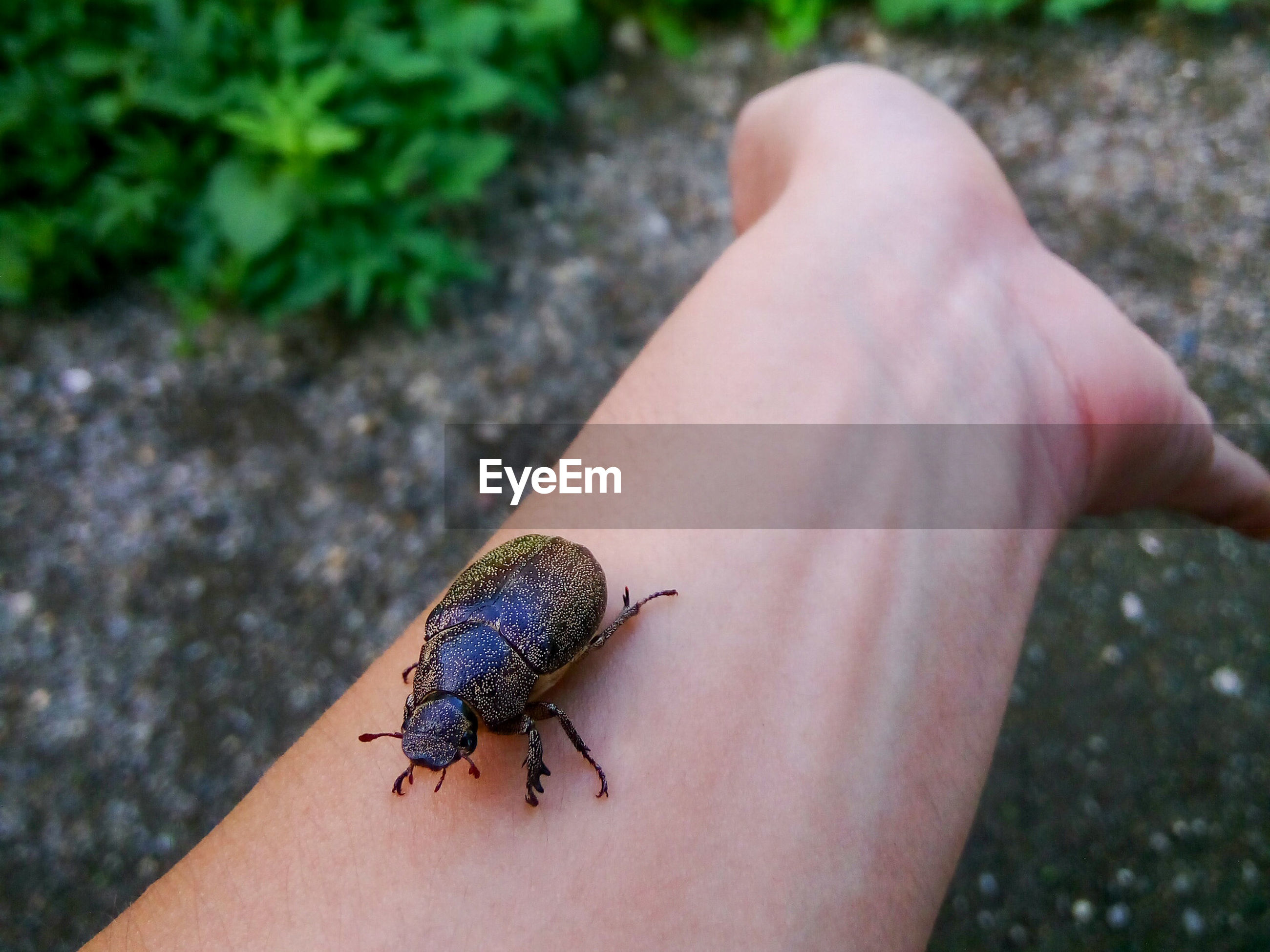 Cropped image of hand holding beetle at field