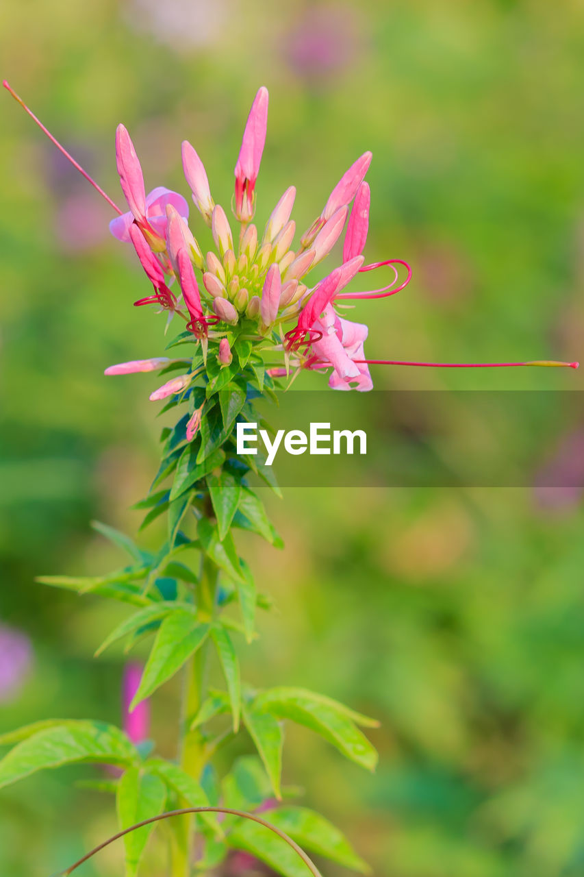 growth, nature, flower, pink color, focus on foreground, plant, fragility, green color, beauty in nature, no people, day, outdoors, close-up, freshness, flower head, blooming