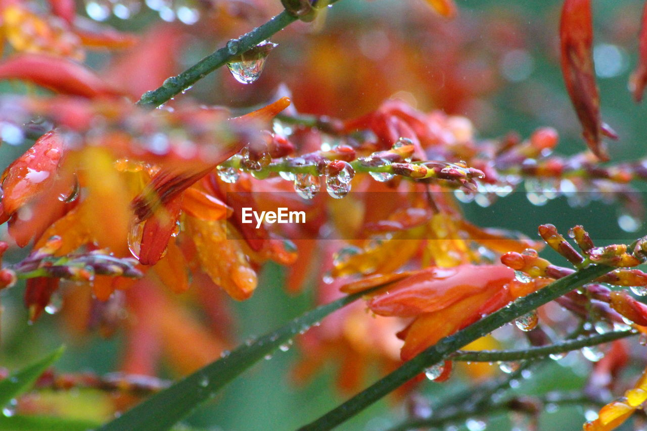 CLOSE-UP OF RAINDROPS ON MAPLE LEAVES
