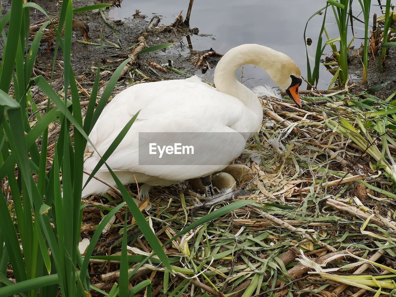 bird, animal themes, vertebrate, animal, animals in the wild, animal wildlife, white color, one animal, plant, nature, day, grass, no people, swan, land, field, outdoors, close-up, water bird, growth