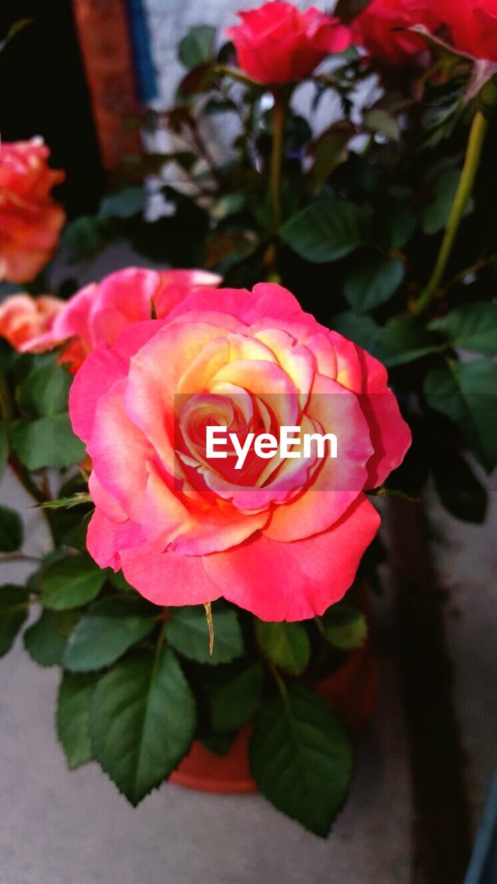flower, rose - flower, petal, nature, beauty in nature, fragility, flower head, plant, pink color, freshness, growth, leaf, no people, close-up, outdoors, blooming, day