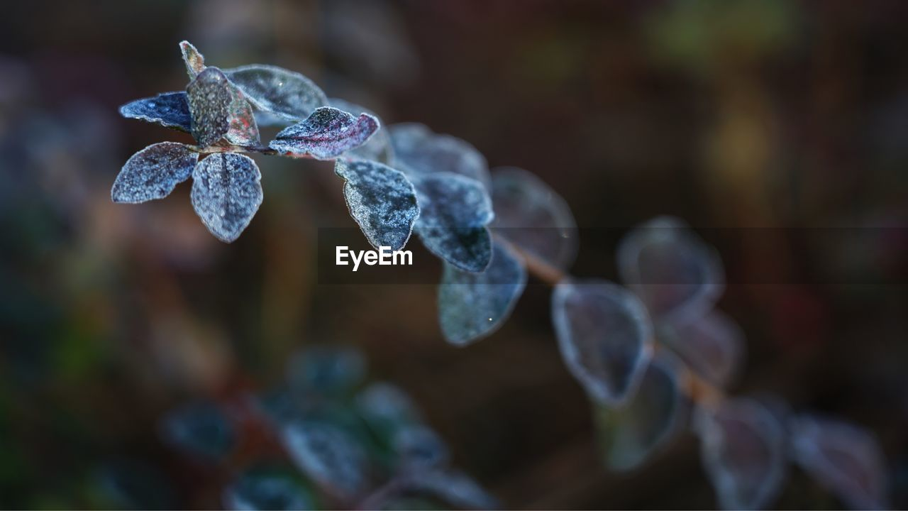 Close-Up Of Water Drops On Leaves During Winter