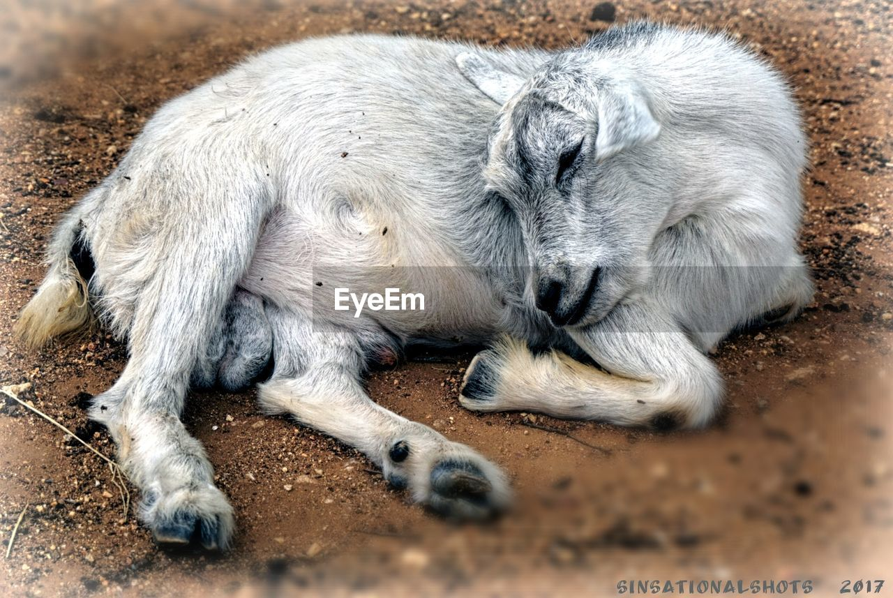 one animal, animal themes, mammal, no people, relaxation, animals in the wild, lying down, day, animal wildlife, close-up, outdoors, domestic animals, nature