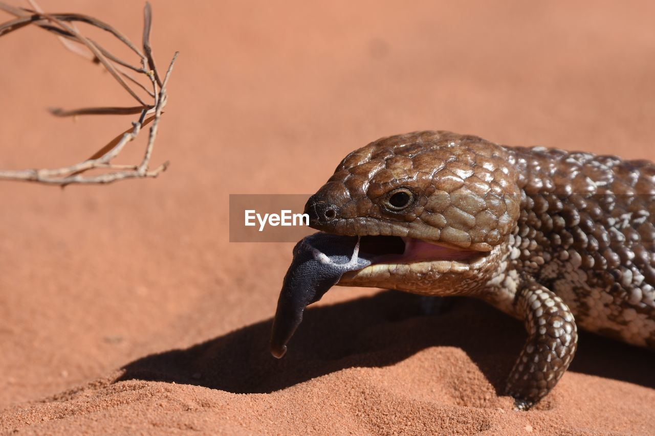 animal themes, animal wildlife, animals in the wild, one animal, animal, vertebrate, sunlight, no people, nature, reptile, focus on foreground, close-up, land, lizard, day, brown, shadow, animal body part, looking, outdoors, animal head, arid climate, animal eye