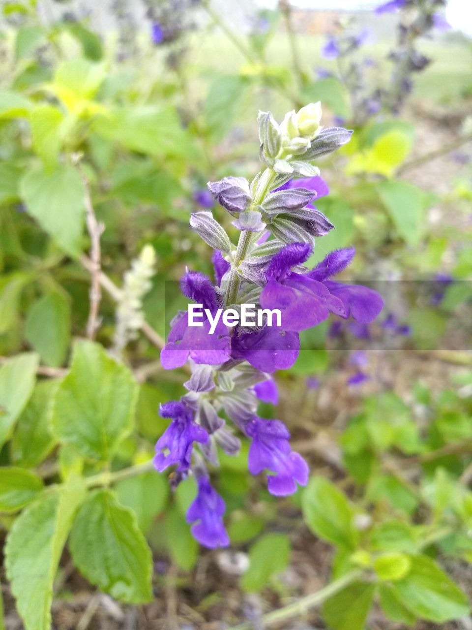 flower, flowering plant, plant, freshness, vulnerability, fragility, beauty in nature, growth, purple, close-up, petal, nature, day, flower head, inflorescence, focus on foreground, no people, outdoors, botany, leaf
