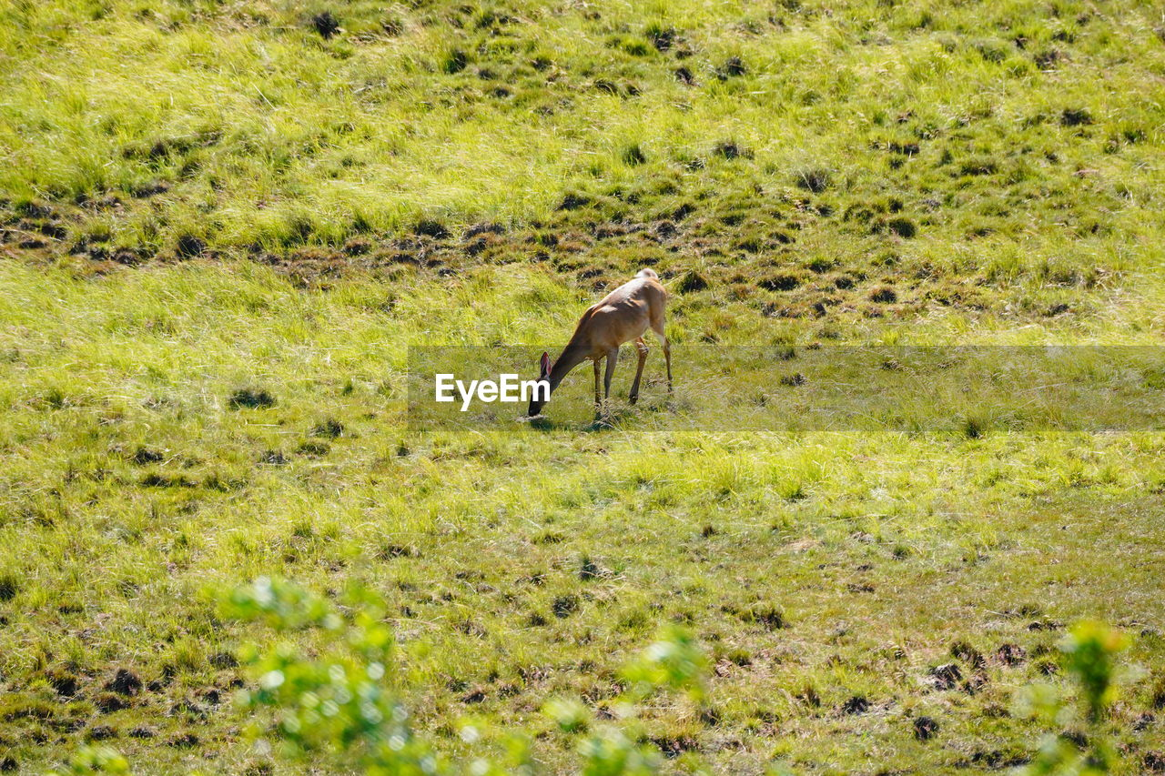 animal, animal themes, animal wildlife, animals in the wild, plant, grass, one animal, vertebrate, mammal, land, field, nature, no people, green color, day, environment, full length, side view, landscape, outdoors, herbivorous