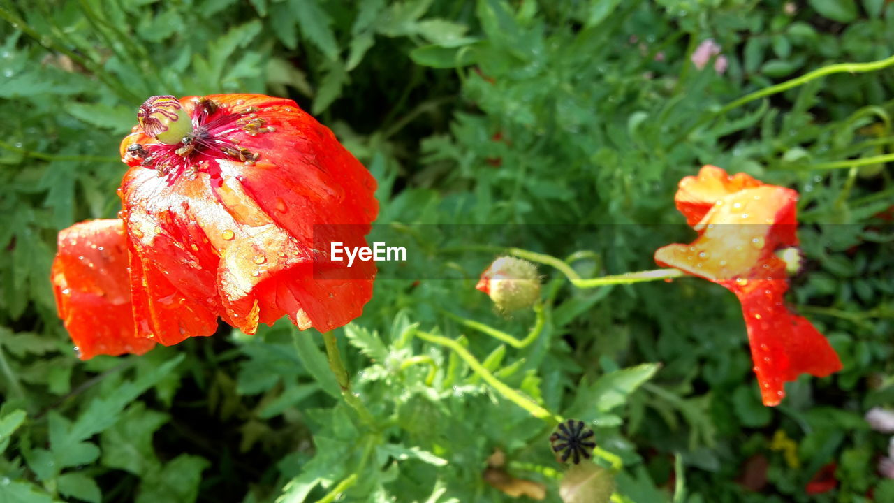 growth, red, nature, plant, beauty in nature, flower, freshness, fragility, drop, petal, wet, day, outdoors, close-up, leaf, flower head, green color, no people, blooming, poppy, water