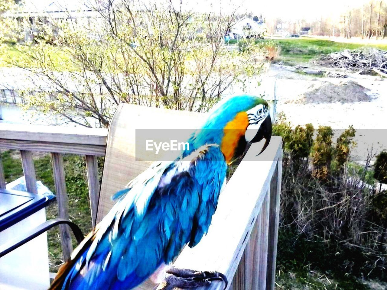animal themes, animals in the wild, gold and blue macaw, one animal, bird, macaw, day, outdoors, no people, tree, nature, perching, multi colored, beauty in nature, parrot, close-up