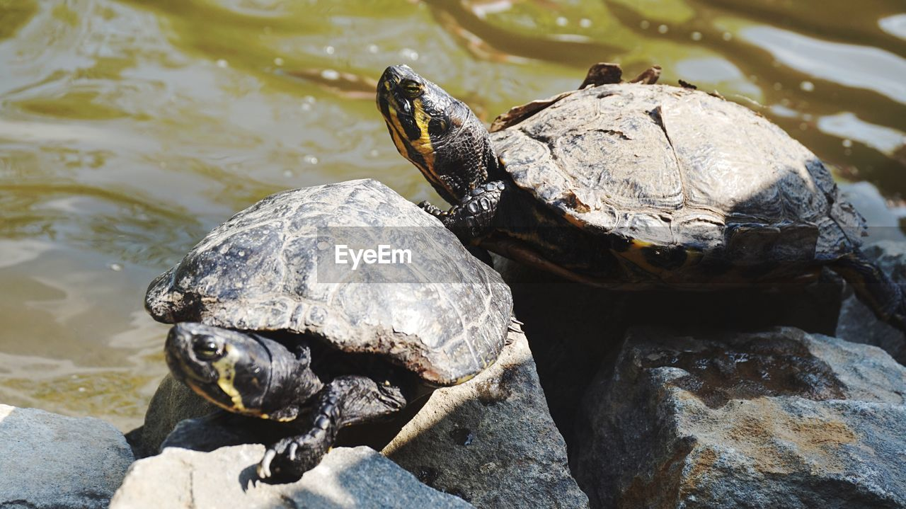animal wildlife, turtle, reptile, animal themes, animal, animals in the wild, vertebrate, rock, group of animals, solid, rock - object, shell, animal shell, no people, day, nature, water, amphibian, tortoise, marine, tortoise shell, outdoors