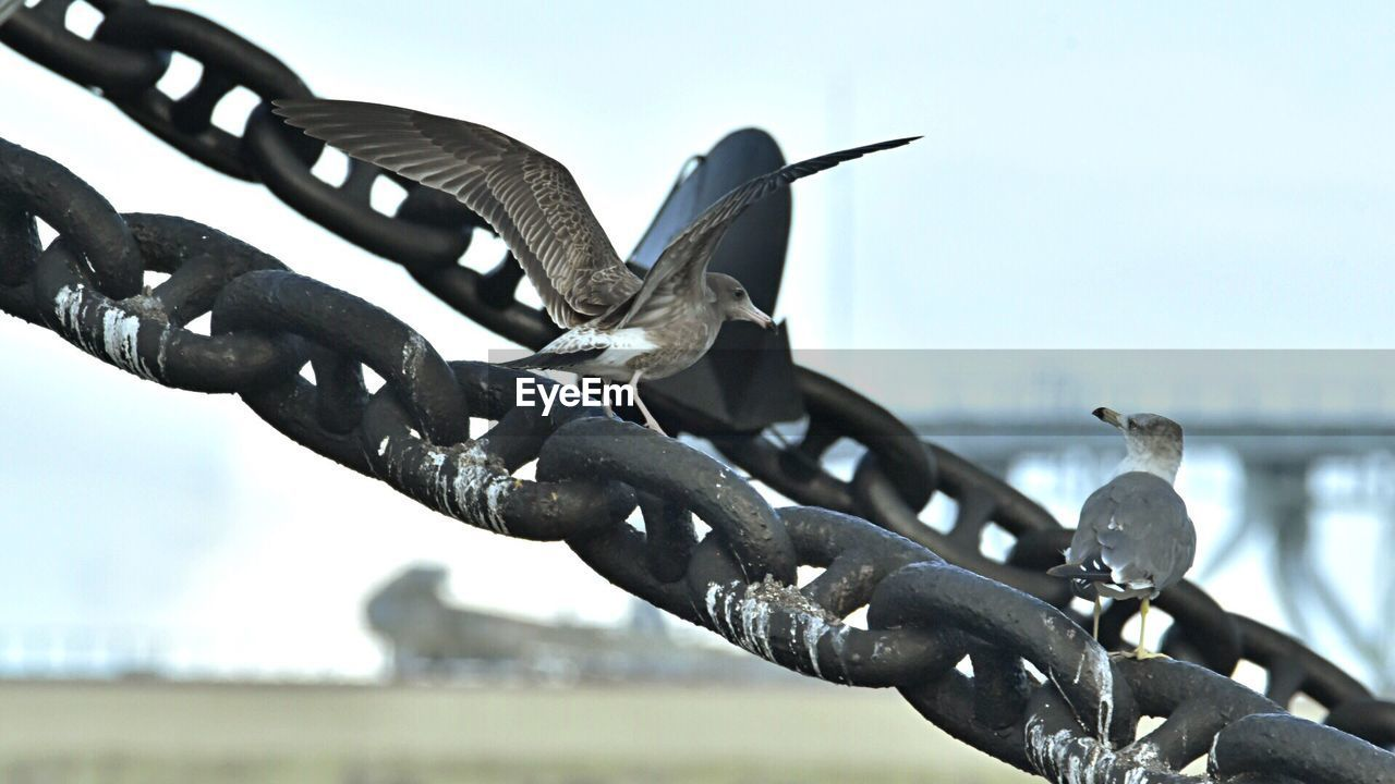 Close-up of birds on chain