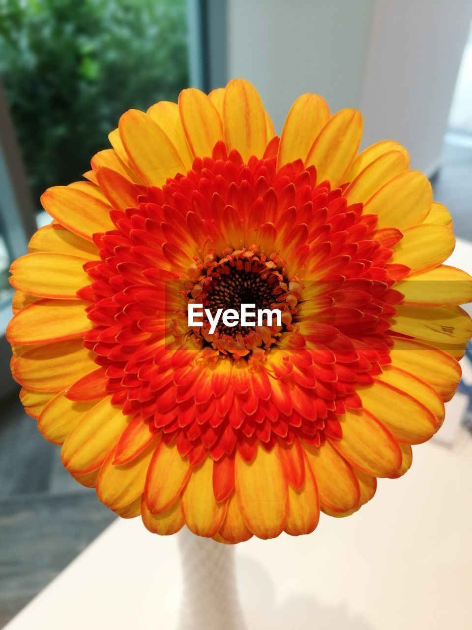 flower, petal, beauty in nature, flower head, fragility, freshness, nature, orange color, close-up, focus on foreground, yellow, outdoors, day, growth, plant, pollen, blooming, no people, zinnia