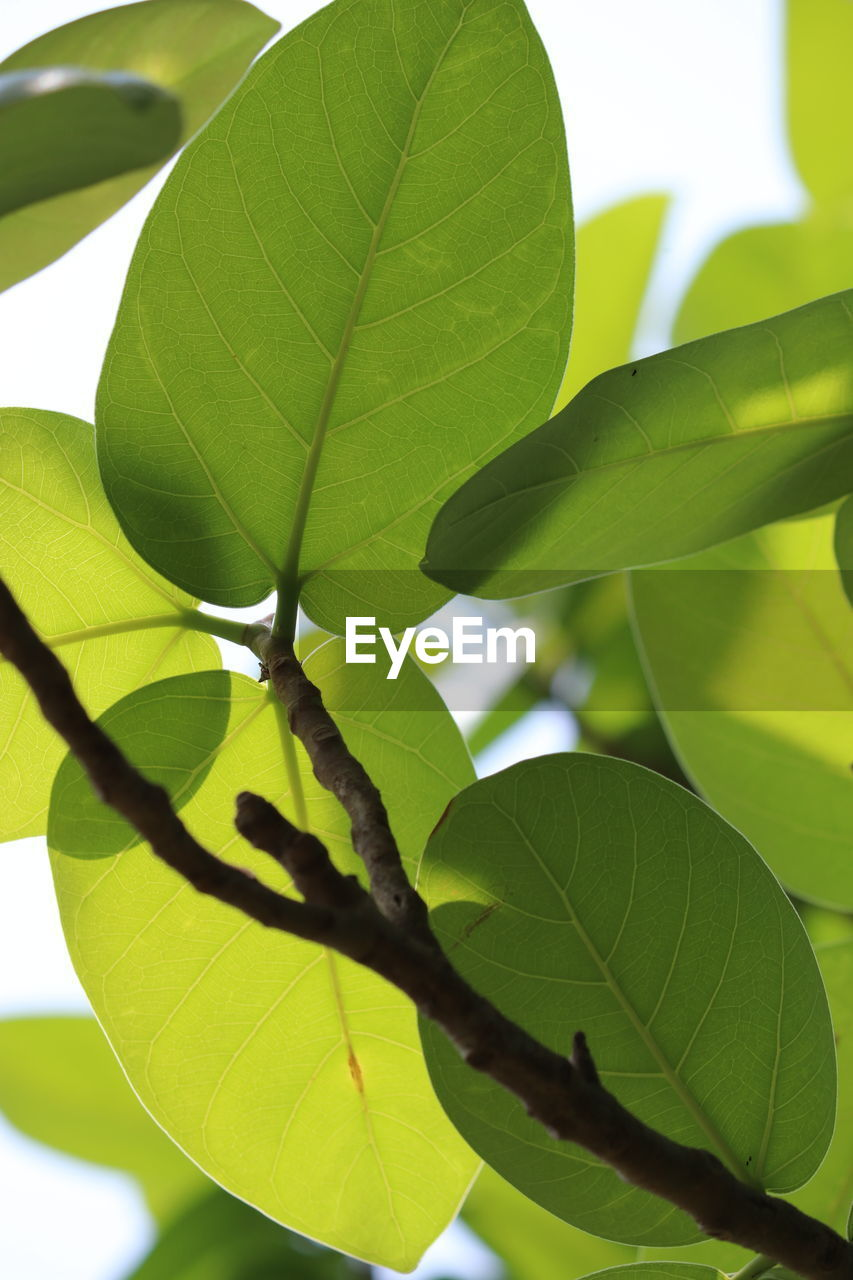 leaf, green color, growth, nature, day, close-up, outdoors, plant, no people, beauty in nature, tree, branch, freshness, fragility