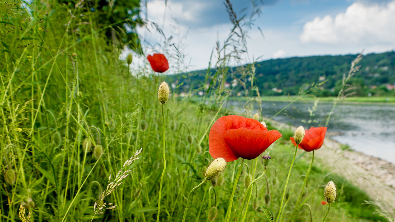 growth, nature, beauty in nature, red, plant, poppy, flower, freshness, green color, field, no people, focus on foreground, fragility, grass, tranquility, day, outdoors, close-up, sky, flower head