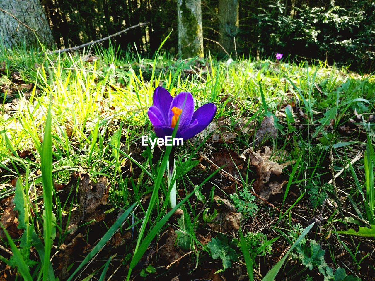 growth, flower, nature, grass, petal, beauty in nature, fragility, field, no people, green color, plant, outdoors, day, freshness, purple, flower head, blooming, crocus, close-up