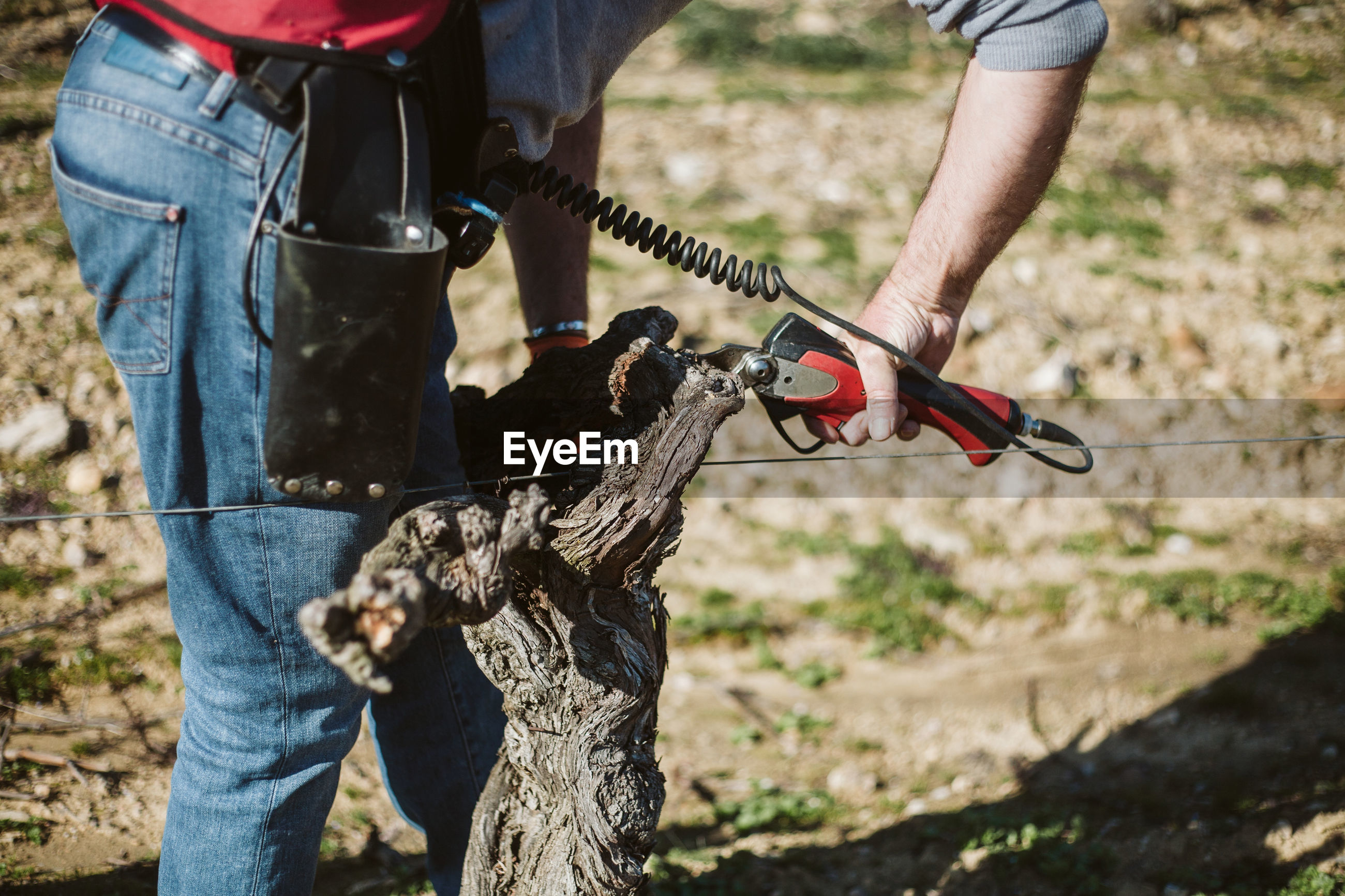Low section of man pruning grapevine