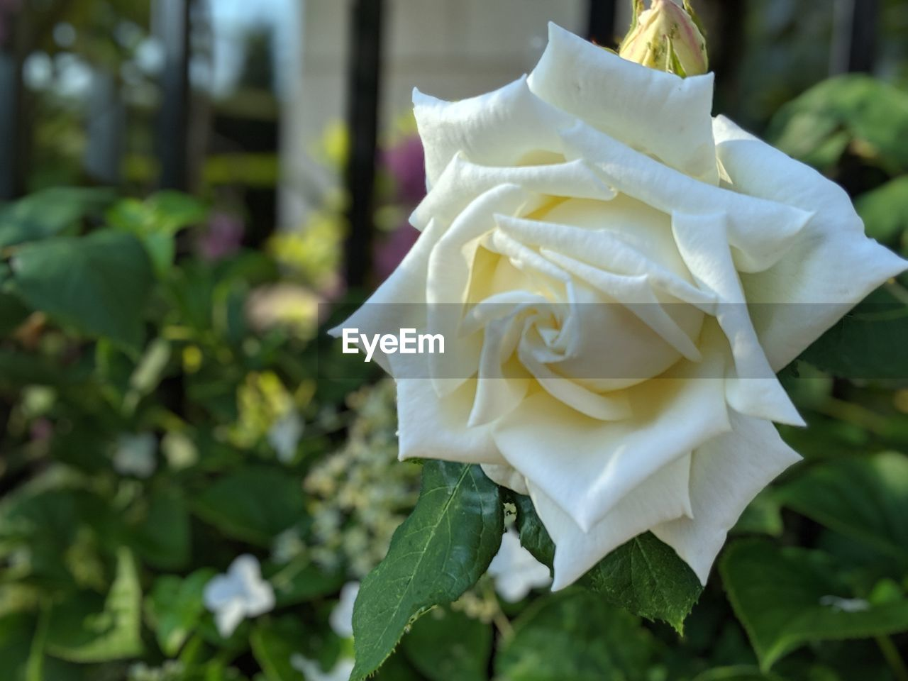 flower, beauty in nature, petal, plant, flowering plant, vulnerability, flower head, fragility, rose, inflorescence, close-up, growth, freshness, rose - flower, white color, focus on foreground, nature, leaf, plant part, no people, outdoors