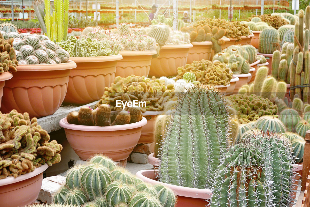 succulent plant, cactus, plant, choice, variation, no people, potted plant, green color, nature, market, growth, large group of objects, day, retail, beauty in nature, container, business, market stall, botany, outdoors, street market