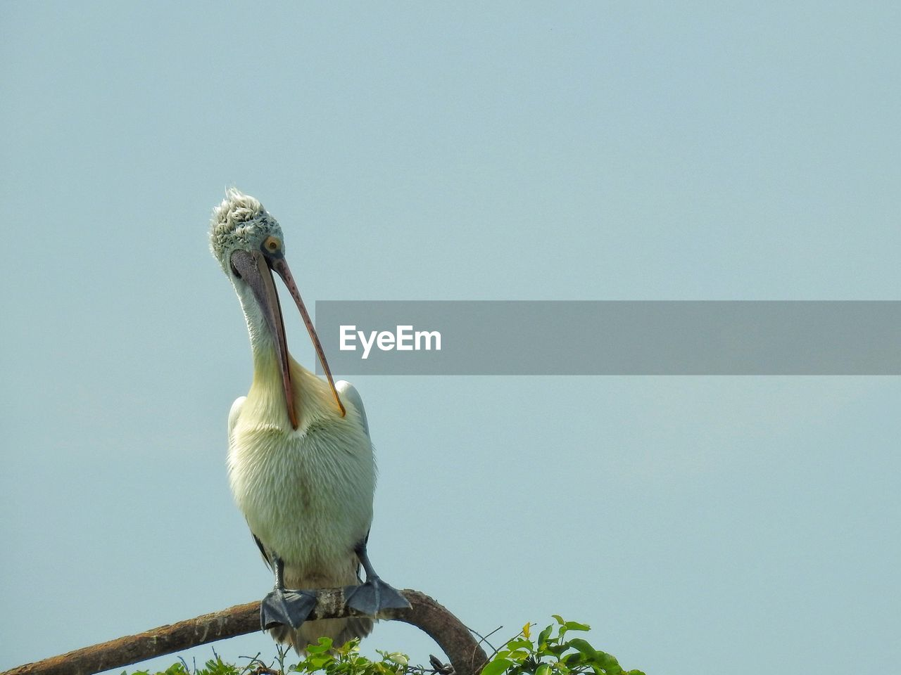 animal themes, animal, vertebrate, bird, animal wildlife, one animal, animals in the wild, copy space, clear sky, sky, perching, nature, low angle view, no people, day, beak, pelican, outdoors, close-up, full length