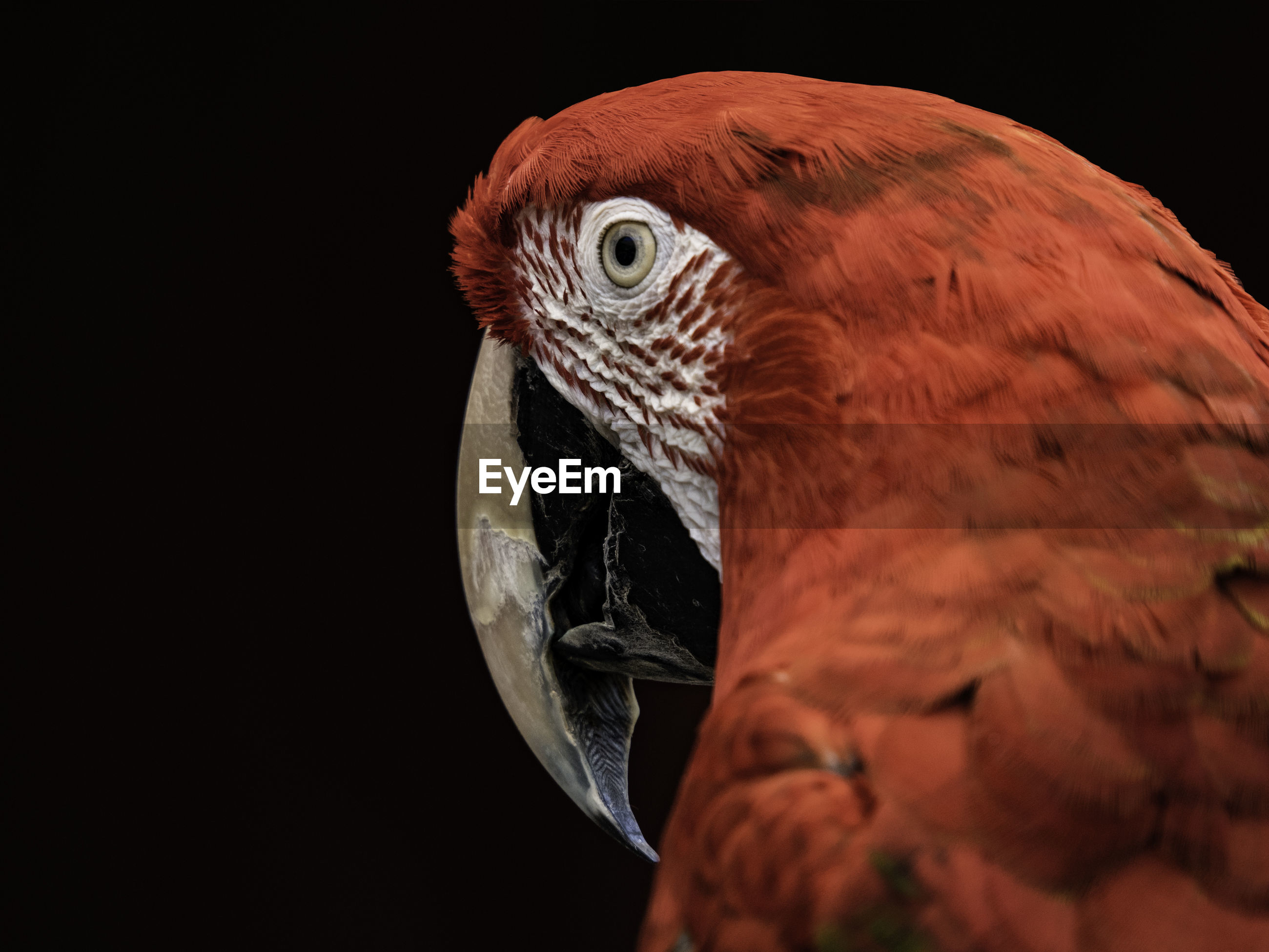 Close-up of parrot looking away against black background