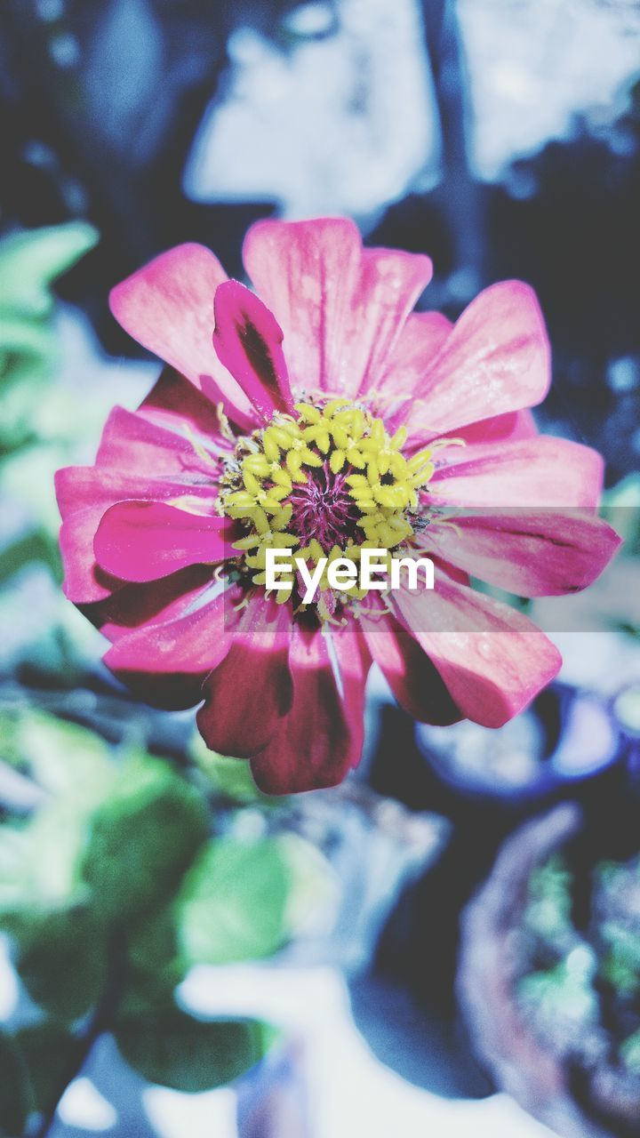 flower, petal, beauty in nature, nature, fragility, flower head, growth, freshness, pink color, focus on foreground, day, outdoors, close-up, plant, blooming, no people, zinnia