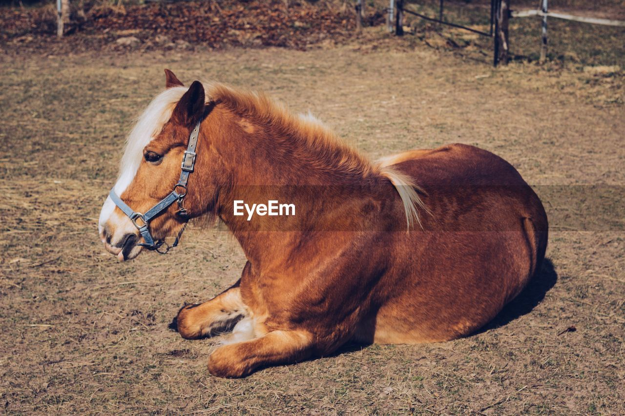Brown horse relaxing on field