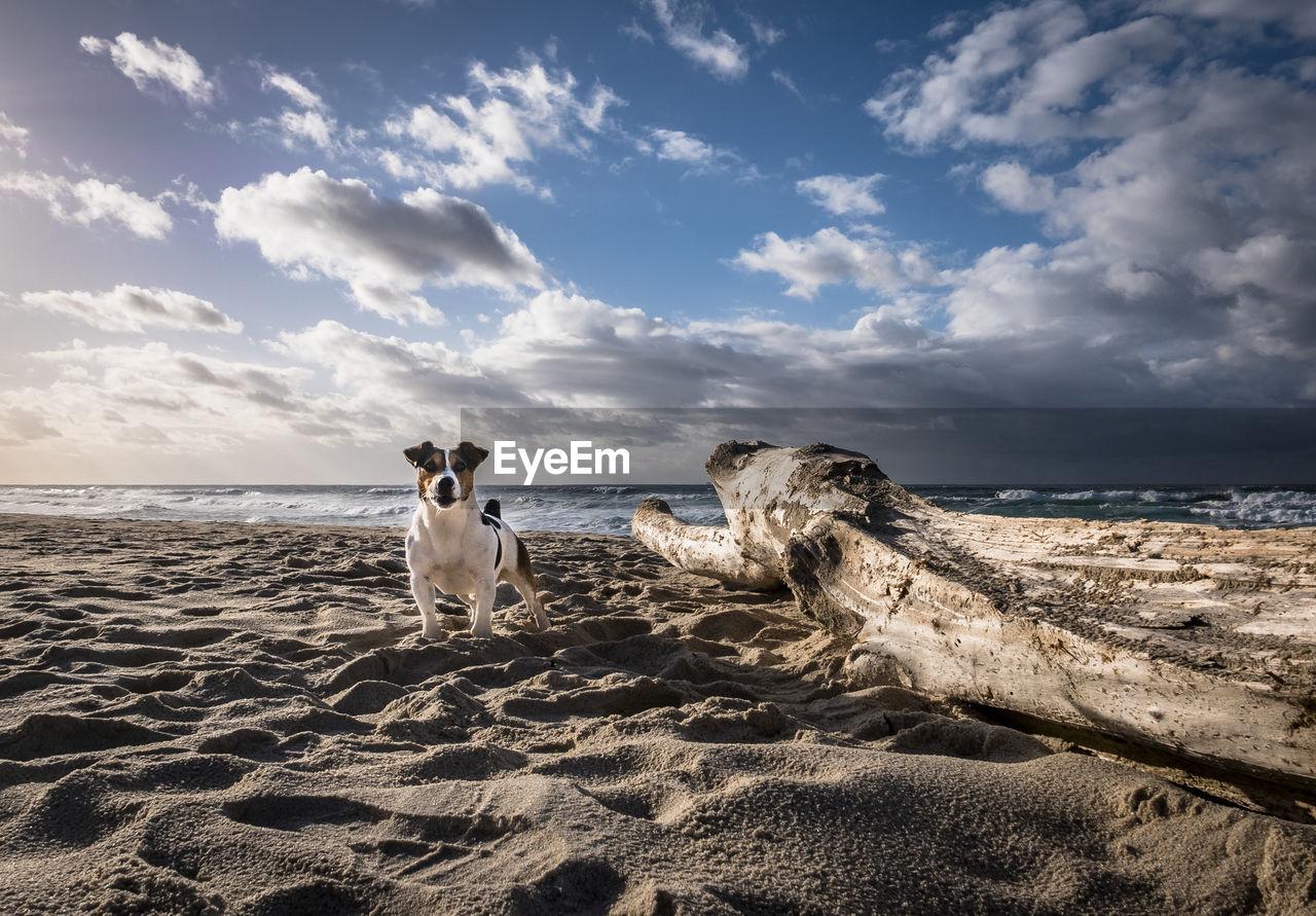 Jack russel on beach against sky