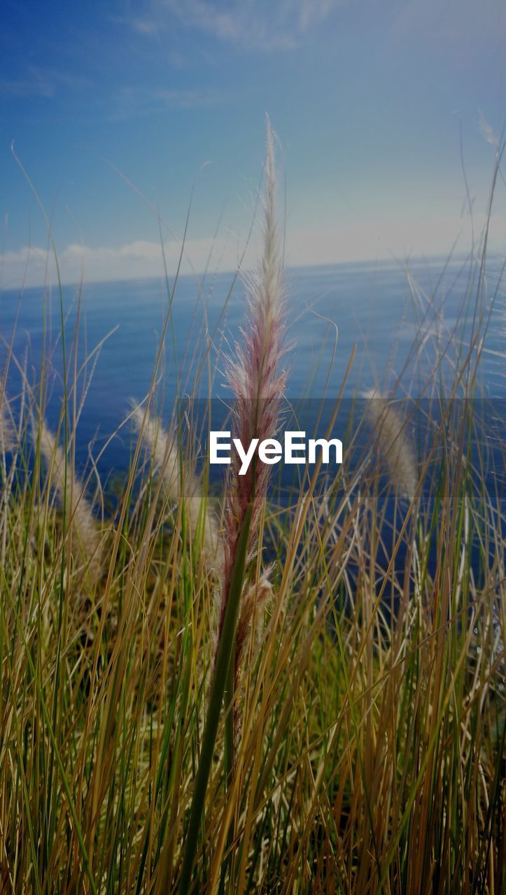 plant, sky, growth, beauty in nature, tranquility, nature, sea, scenics - nature, land, grass, tranquil scene, no people, horizon over water, horizon, water, day, close-up, focus on foreground, beach, marram grass, timothy grass, stalk