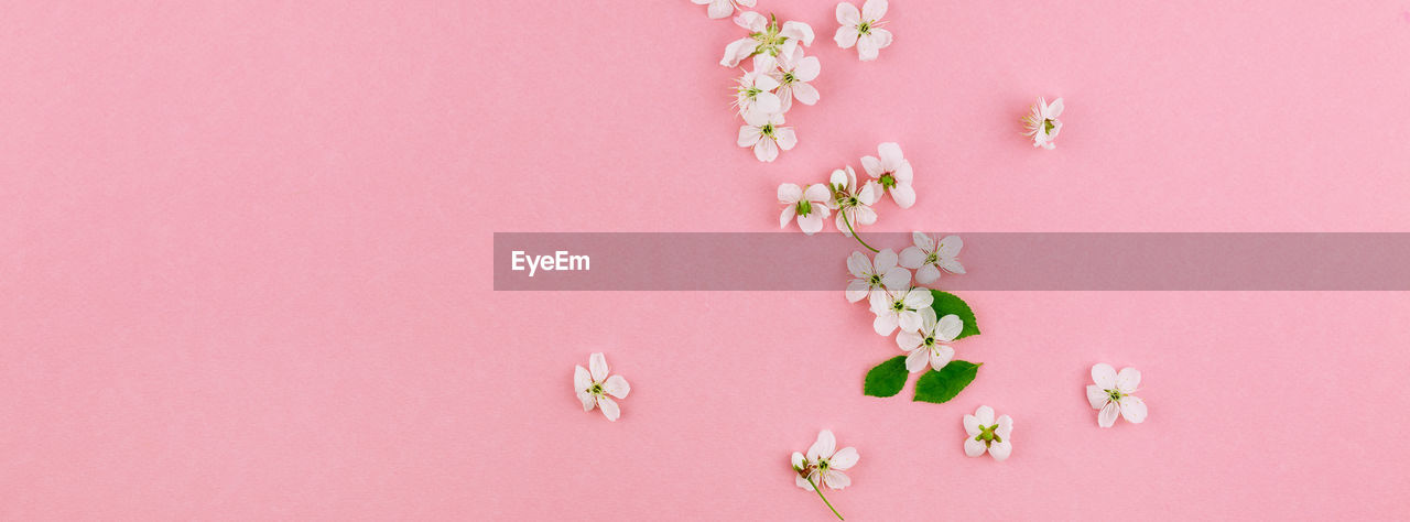 pink color, flower, flowering plant, plant, freshness, beauty in nature, close-up, no people, studio shot, indoors, pink background, colored background, vulnerability, fragility, copy space, petal, growth, nature, flower head, still life