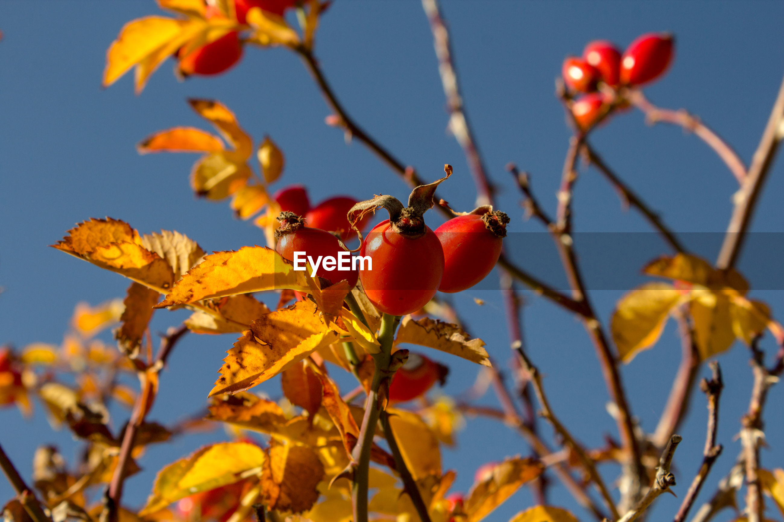 Close-up of berries growing on tree against sky