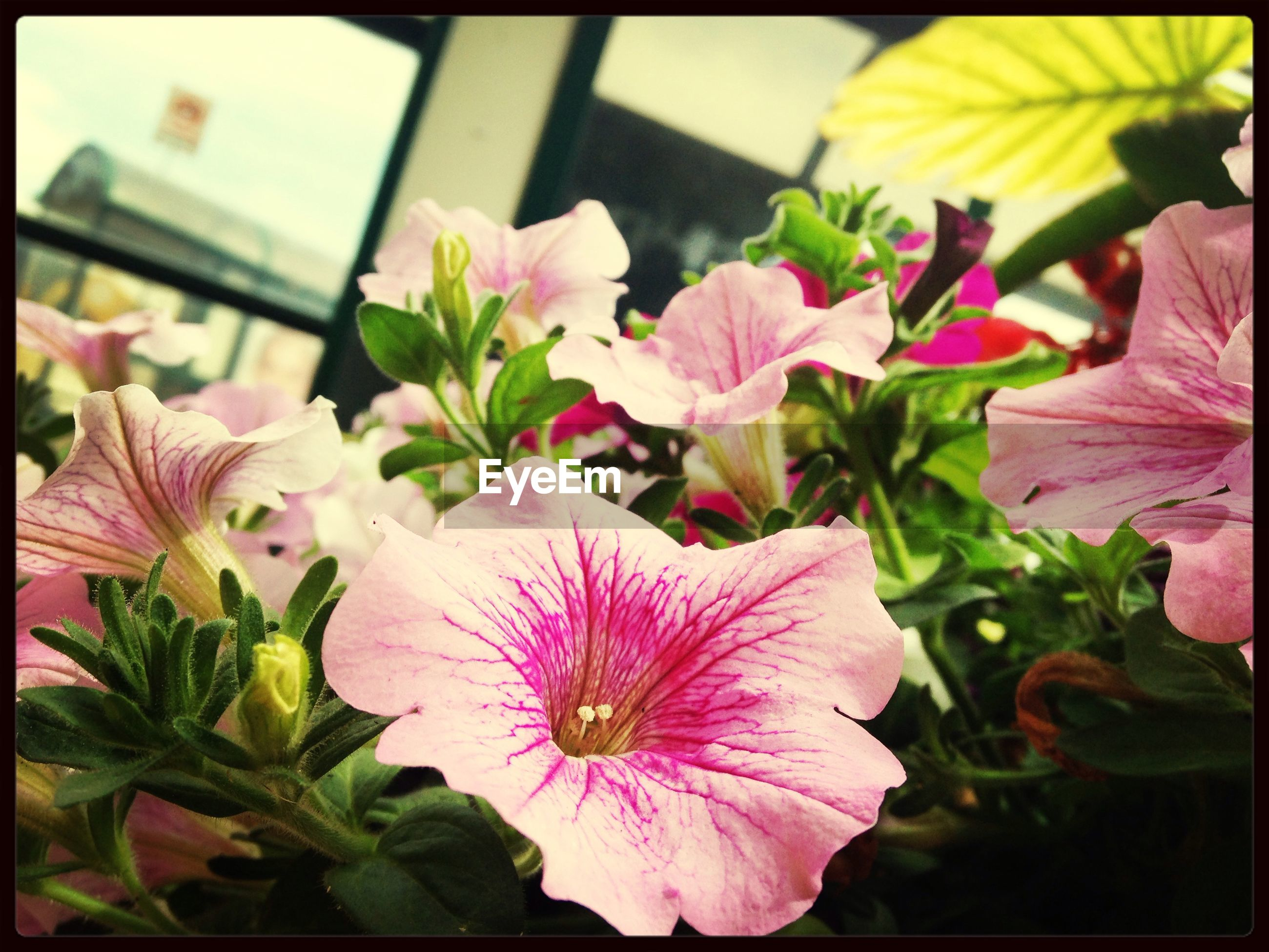 transfer print, flower, petal, auto post production filter, freshness, flower head, fragility, beauty in nature, growth, pink color, close-up, blooming, nature, pollen, plant, stamen, focus on foreground, in bloom, leaf, outdoors