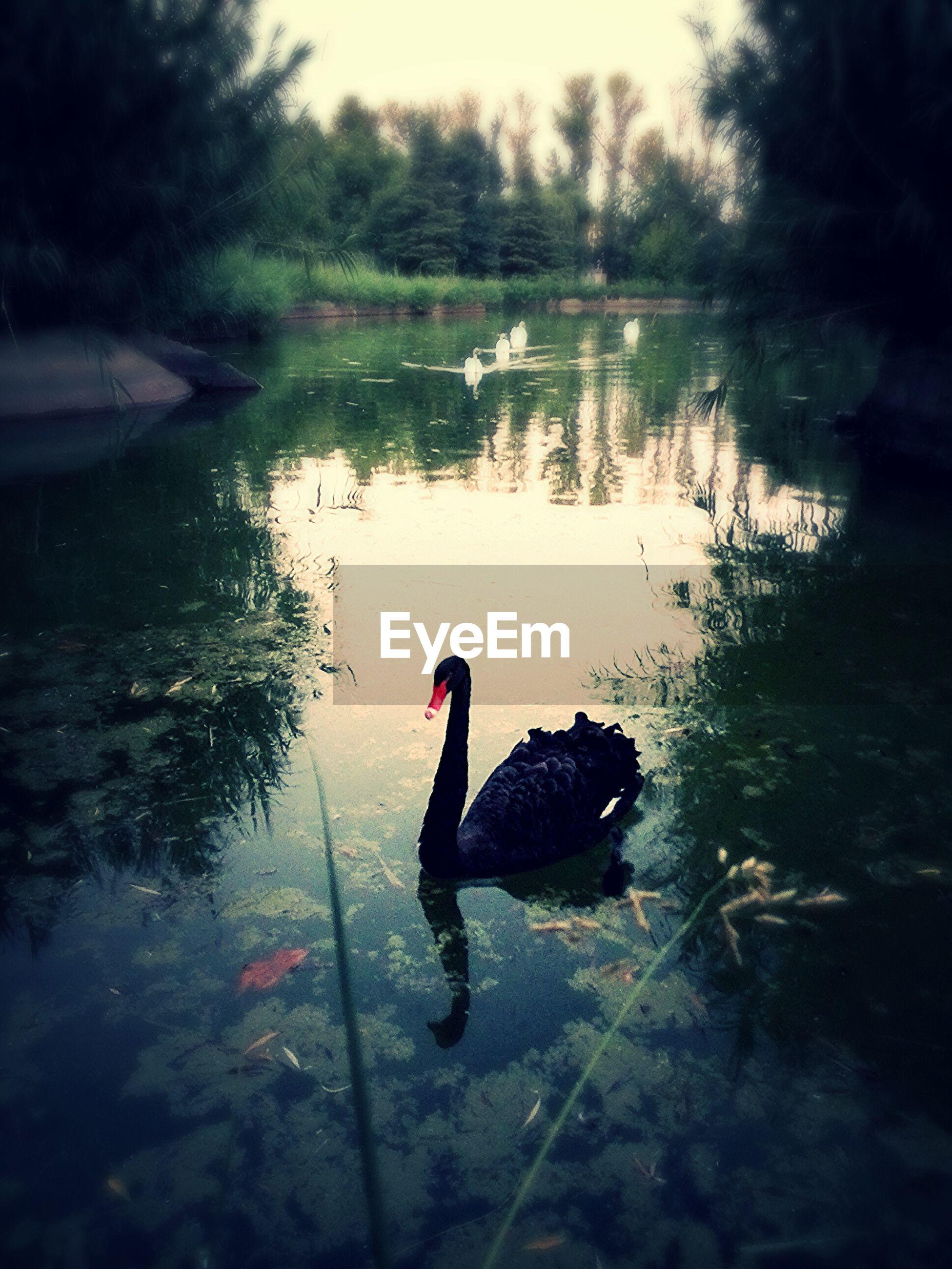 animal themes, water, bird, animals in the wild, lake, wildlife, swimming, reflection, duck, water bird, swan, one animal, nature, waterfront, two animals, rippled, beauty in nature, outdoors, beak, pond