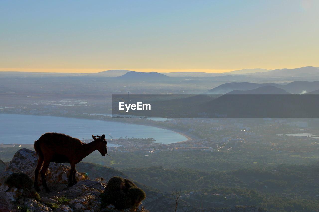 Wild goat on mountain peak against sky during sunset