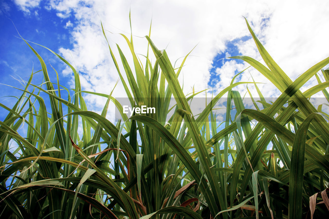 growth, plant, green color, cloud - sky, sky, field, nature, agriculture, beauty in nature, land, crop, day, no people, cereal plant, landscape, tranquility, close-up, rural scene, farm, outdoors, blade of grass